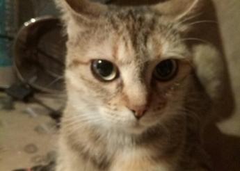Linette chatte tigrée aux couleurs originales (2 ans)