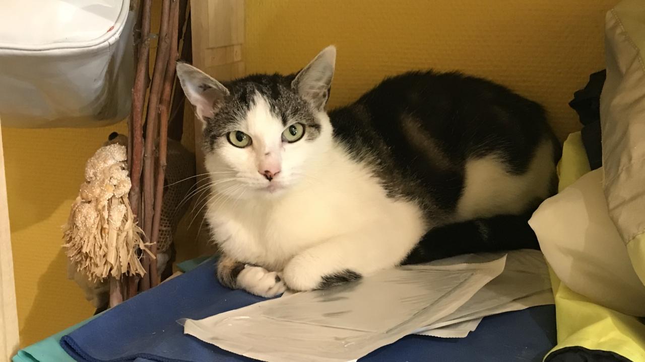 Napoléon Gentil chat d'1 an gris et blanc