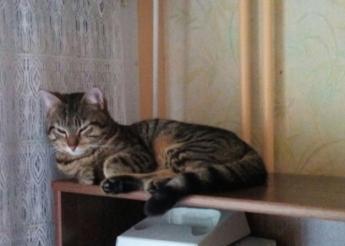 Loulou beau chaton tigré de 6 mois