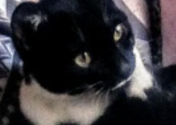 Symphonie Joli chaton femelle de 5 mois 1/2