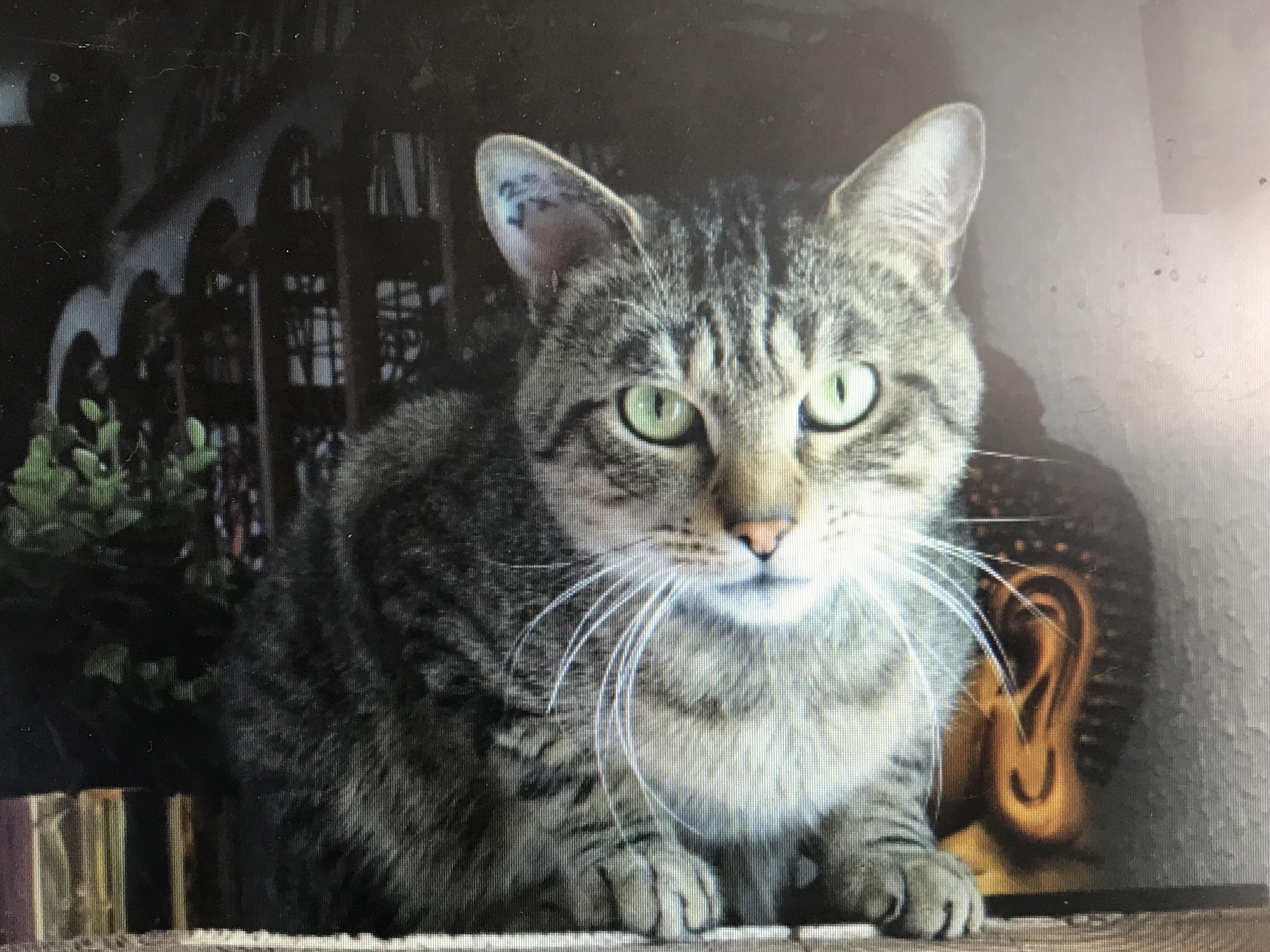 Zébulon beau matou tigré de 6 ans