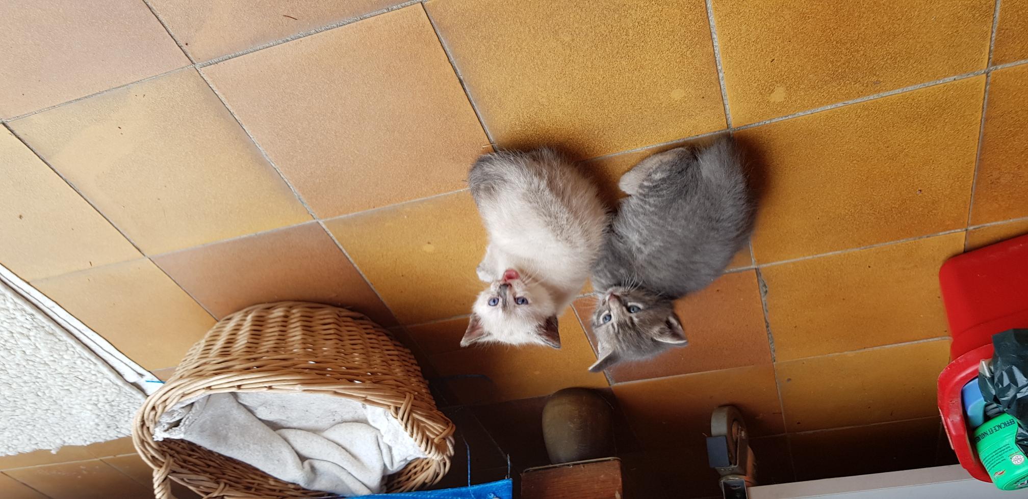 2 adorables chatons de 3  semaines à réserver