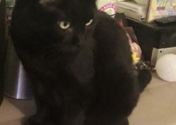 Shaé belle panthère noire aux yeux émeraude 8 ans env.