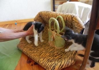 2 chatons noirs et blancs 2 mois 1/2 trouvés au bord de la rue