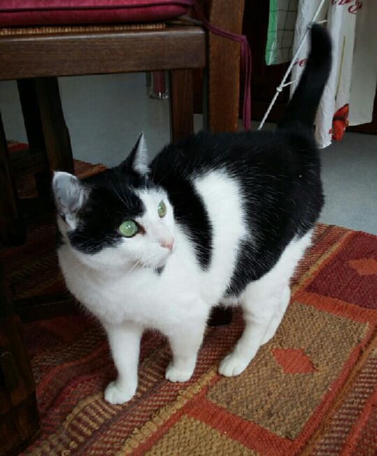 Minette noire et blanche 10 ans, beaux yeux verts, recherche douillet panier retraite