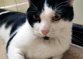 Kit Kat chat mâle noir et blanc 1 an très câlin