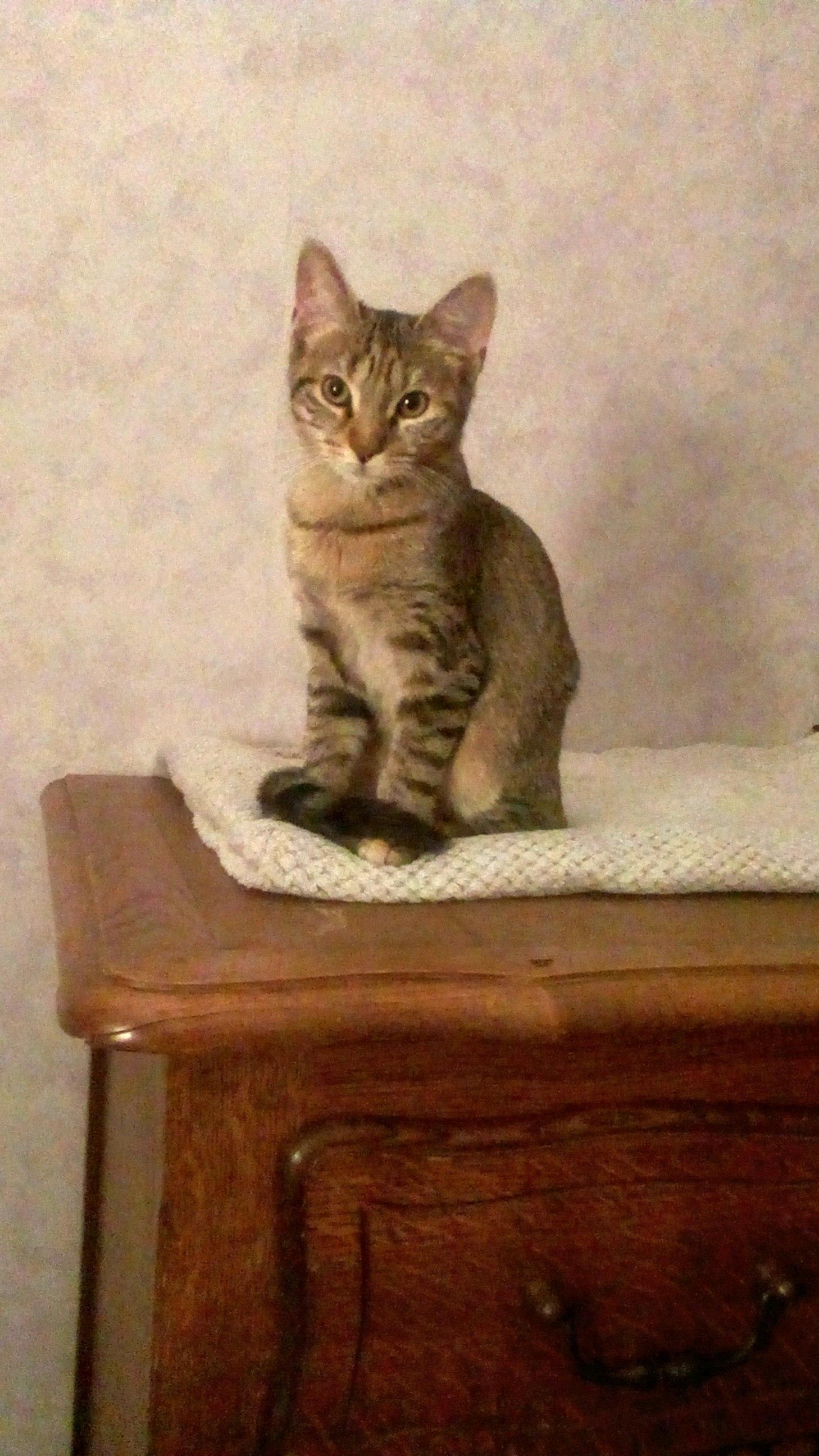 Mia jolie chatonne tigrée de 4 mois abandonnée par ses maîtres