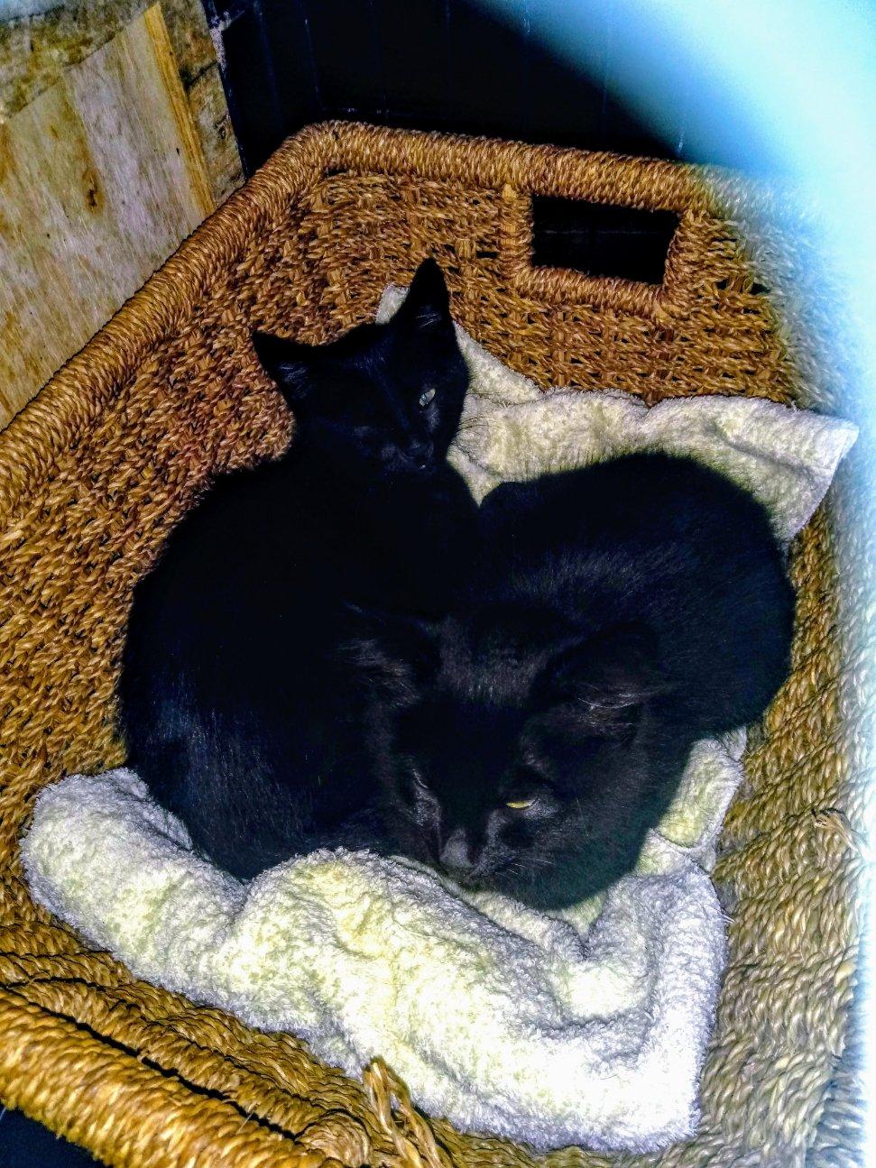 Athos et Portos 2 beaux bb noirs mâles très gentils