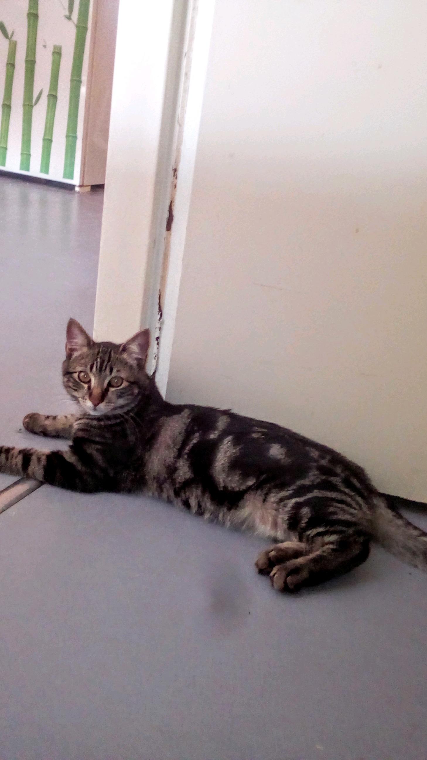 Angel beau chaton tigré de 4 mois
