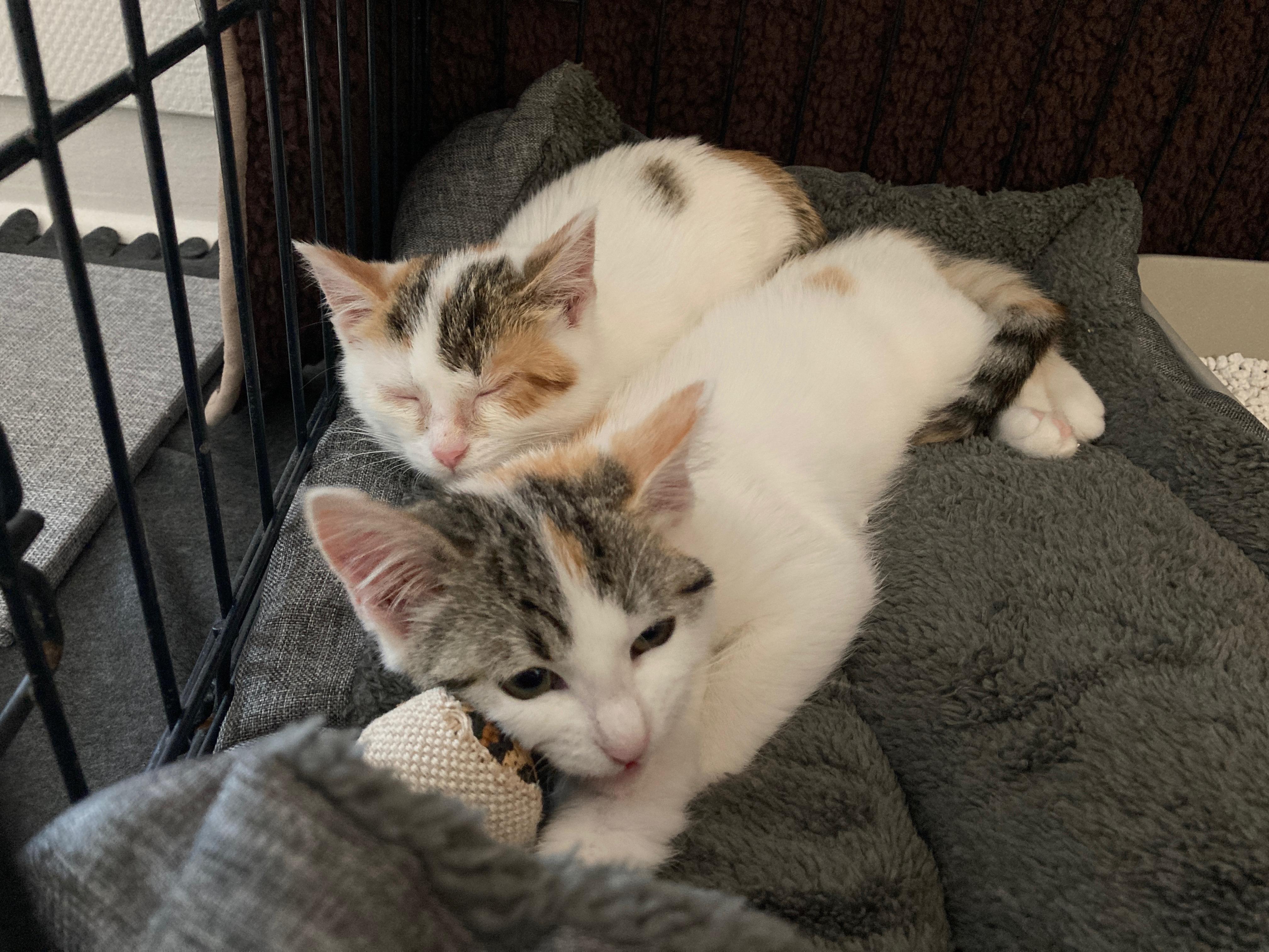 Rosy et Rosanna 2 chatons de 3 mois