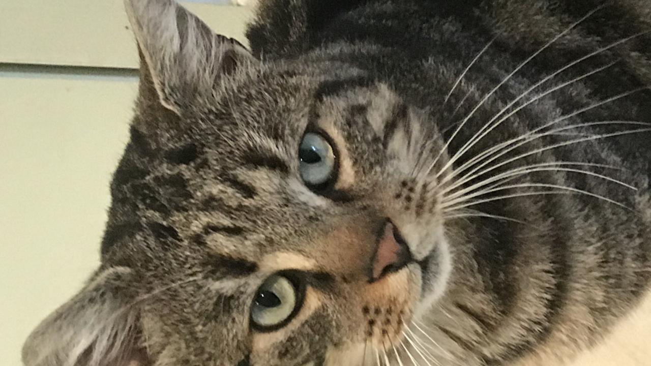 magnifique et  gentil matou tigré foncé (tabby) 18 mois