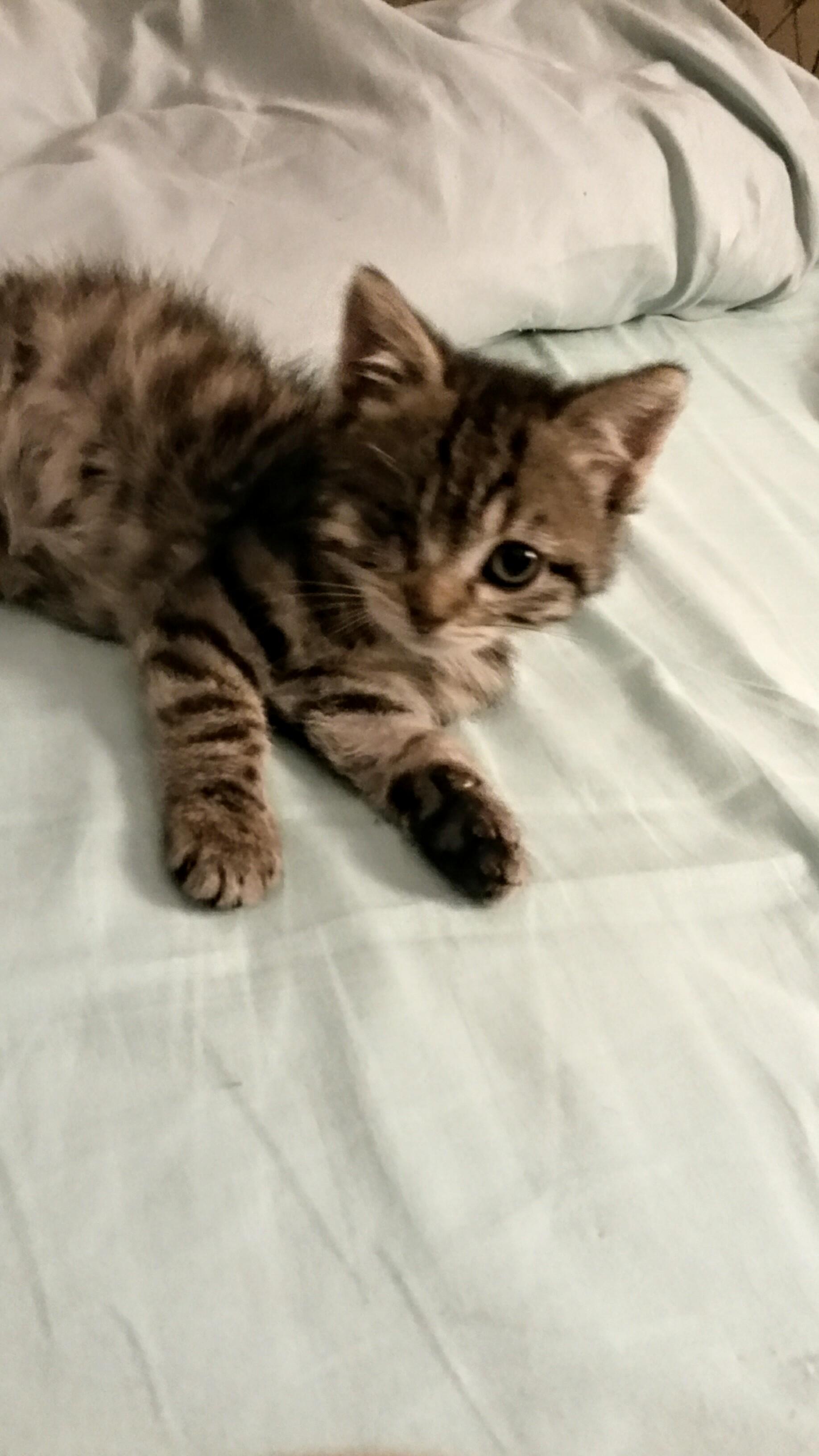Leïa bébé tigré 2 mois cherche bon foyer malgré son handicap