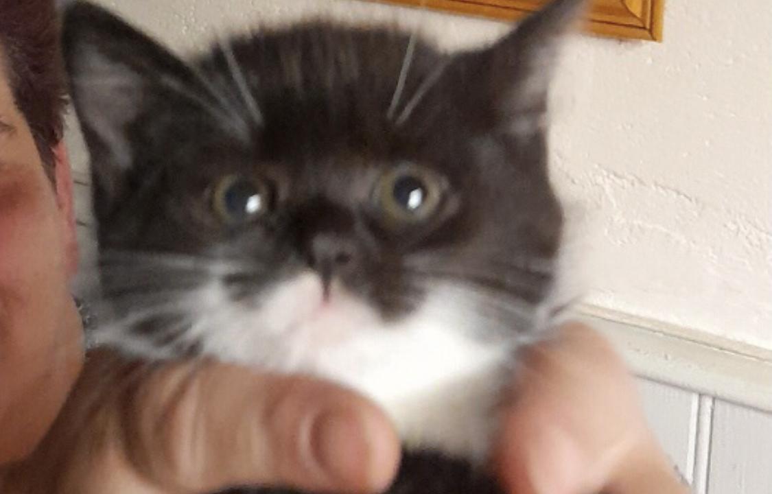 Cachou beau chaton mâle noir et blanc