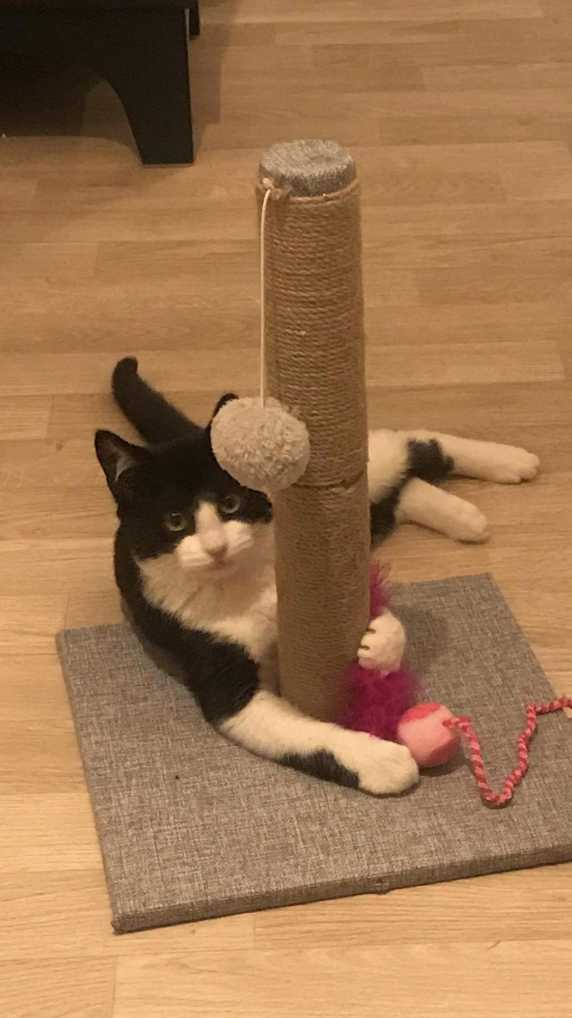 Félix grand chaton de 5 mois gentil et câlin