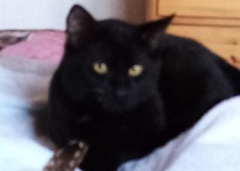 Oréo chaton noir de 4 mois (2 taches blanches au cou)