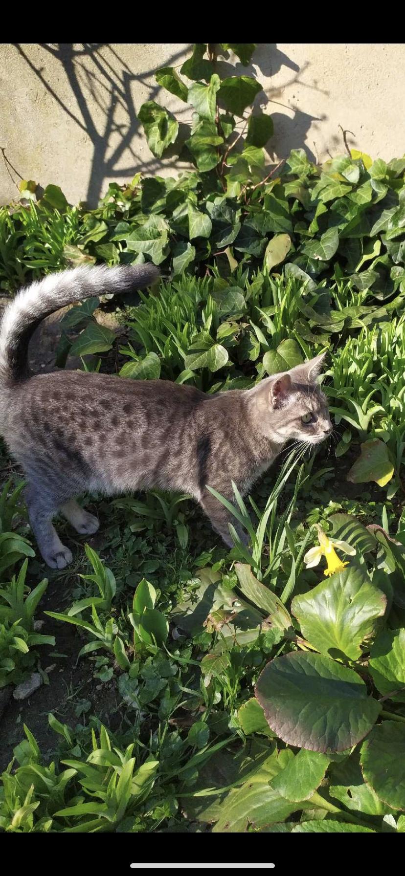 Alwinn chat tigré de 8 mois beau pelage style Bengale