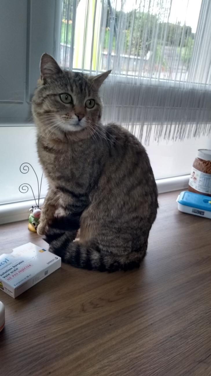 Mistigri beau matou tigré de 3 ans très câlin