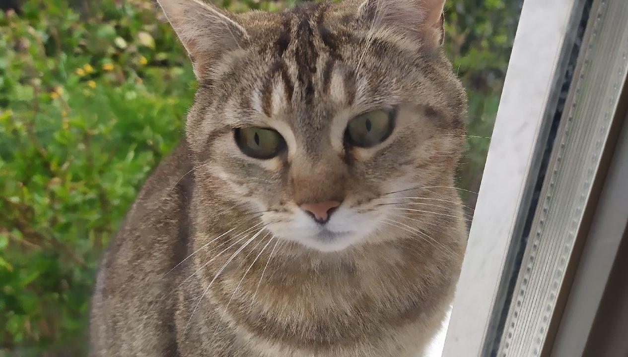 Tiki jolie et gentille fifille tigrée de 10 ans en pleine forme recherche doux panier retraite