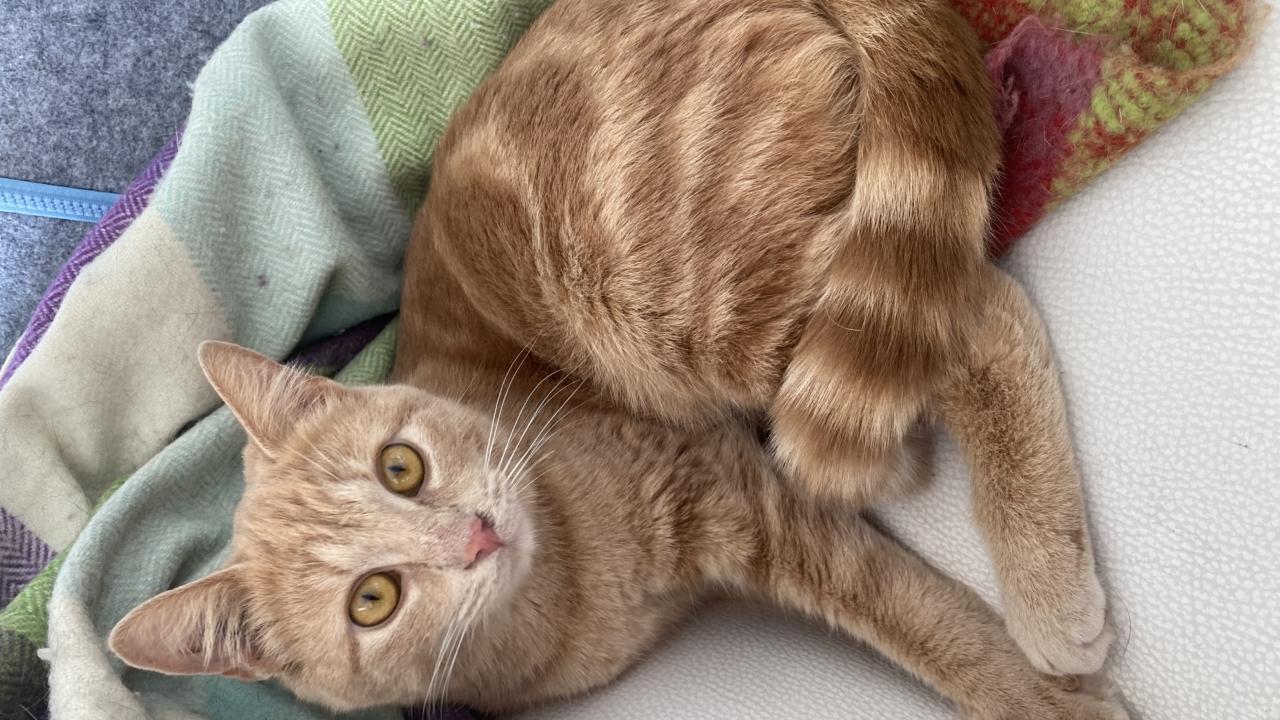 Dora adorable et jolie minette tigrée rousse de 18 mois