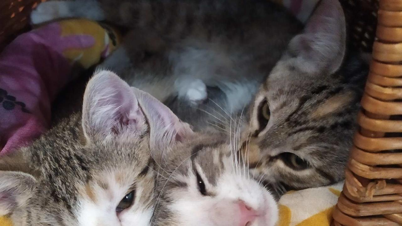 Mistinguette, Princesse et Sandy : 3 gentils et mignons chatons de 3 mois