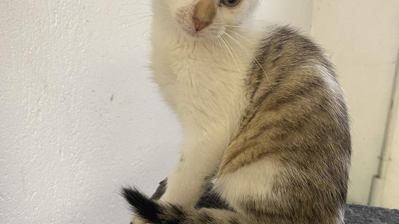 Alaska chaton mâle 2 mois couleur originale