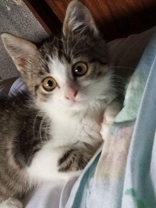 Sissi adorable pupuce grise et blanche de 2 mois