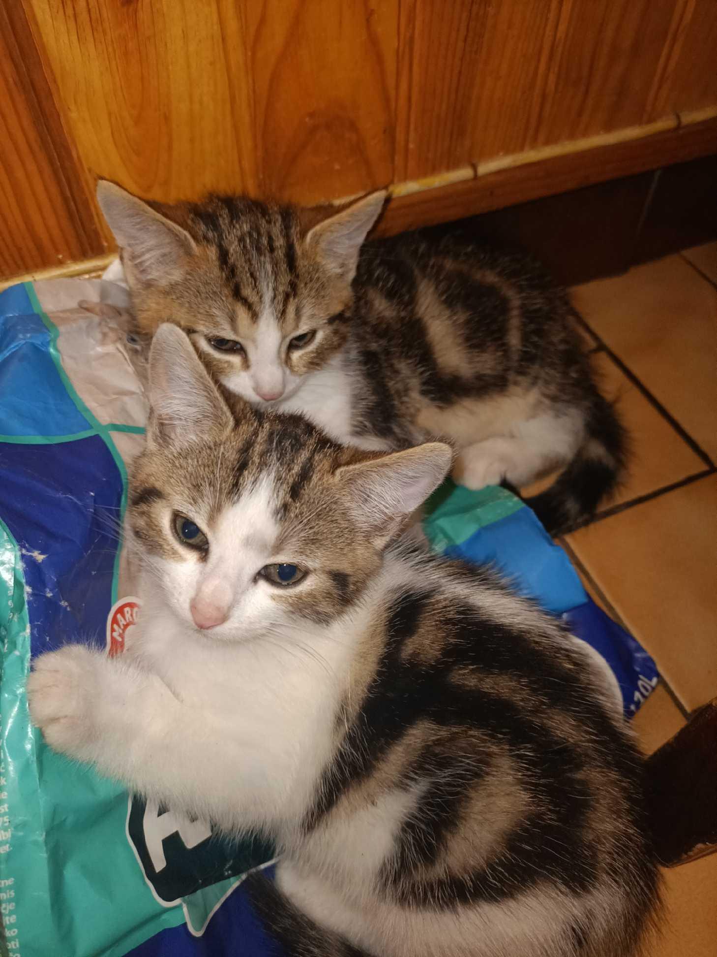 4 chatons de 3 mois (3 femelles et 1 male) mignons et gentils