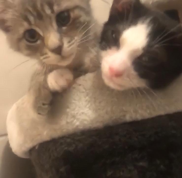 Yuna et Youkie 2 chatonnes de 3mois très gentilles